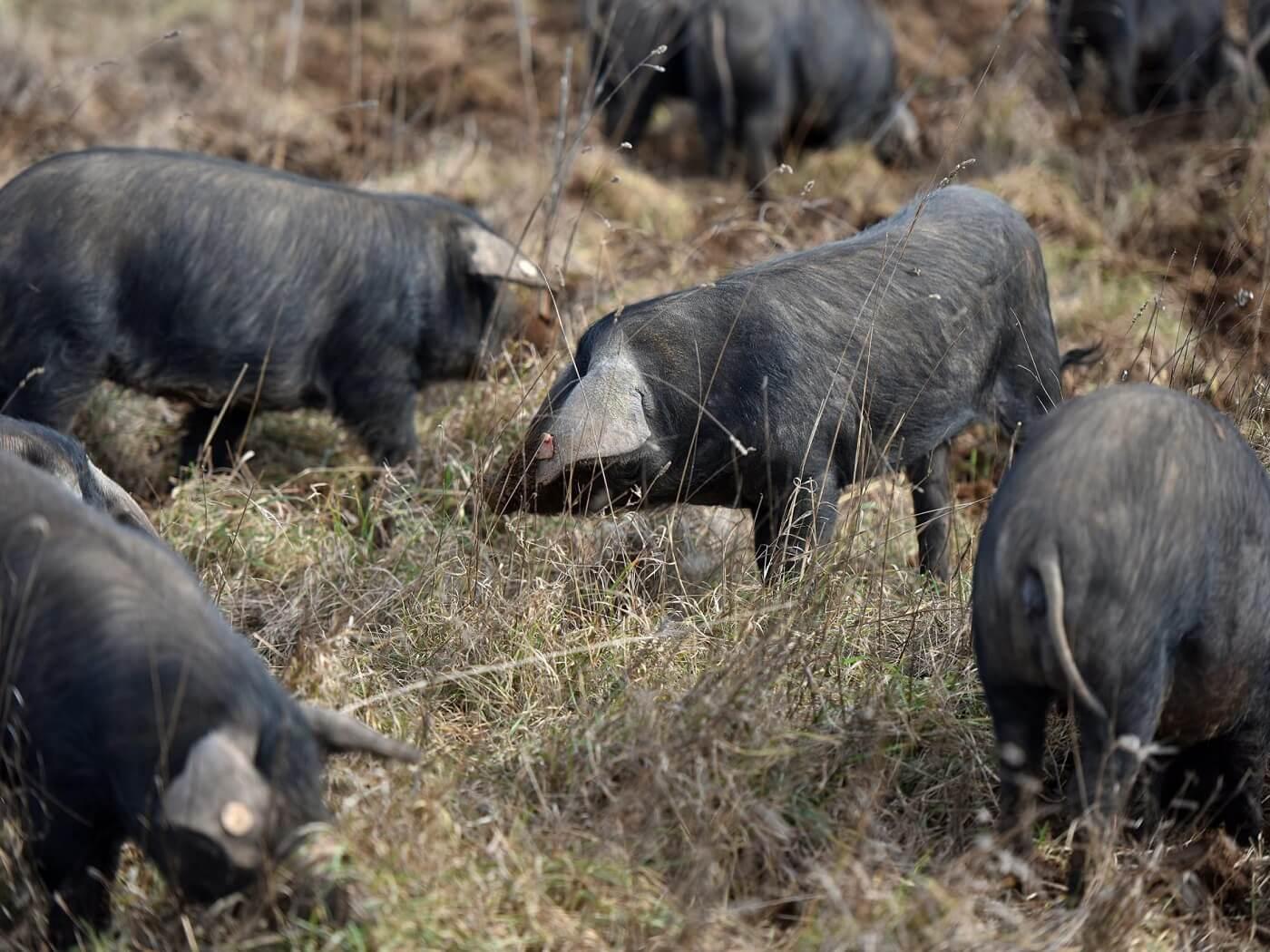 Nabavka materijala i sredstava za postavljanje dvostrukih ograda u uzgojima izvornih pasmina svinja koje se drže na otvorenom